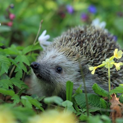 earth kin wildlife conservation for hedgehogs